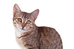 Brown Striped Kitten. Close-up photo of a brown striped kitten isolated on white background. Studio shot royalty free stock image