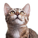 Brown Striped Kitten Close-up. Close-up photo of a brown striped kitten looking up, isolated on white background. Studio shot. Shallow depth of field. Focus on royalty free stock photos