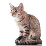 Brown Striped Kitten (4 months old) Stock Image