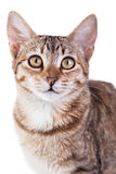 Brown Striped Kitten. Photo of a brown striped kitten isolated on white background. Studio shot royalty free stock image