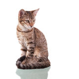 Brown Striped Kitten. Photo of a brown striped kitten isolated on white background. Studio shot stock photography