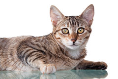 Brown Striped Kitten. Photo of a brown striped kitten laying down, isolated on white background. Studio shot royalty free stock photo