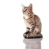 Brown Striped Kitten. Photo of a brown striped kitten (4 months old) sitting down isolated on white background. Studio shot stock image