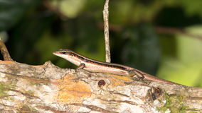 Brown striped lizard Royalty Free Stock Images