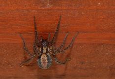 Brown striped spider. Royalty Free Stock Photography