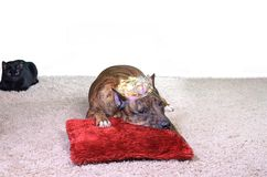 a brown striped terrier in the crown lies on a red fluffy pillow Stock Image