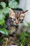 Brown stripes cute kitten walking on the grass. In the garden Royalty Free Stock Photography