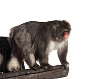 Brown Stumpf-band Makakenaffen in einem Baum an Lizenzfreie Stockfotografie
