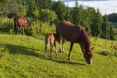 Brown-Stute und -fohlen, die zusammen in einer Weide in den Karpaten im Sommer weiden lassen lizenzfreie stockfotografie