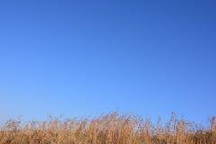 Brown suche trawy dryfuje w wiatrze Zdjęcie Royalty Free