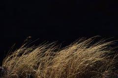 Brown suche trawy dryfuje w wiatrze Fotografia Royalty Free