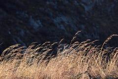 Brown suche trawy dryfuje w wiatrze Obraz Royalty Free