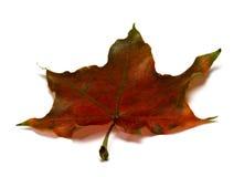 Brown suchy jesienny liść klonowy Obraz Stock