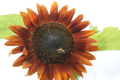Brown sunflower Royalty Free Stock Image