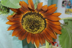 Brown sunflower Royalty Free Stock Photo