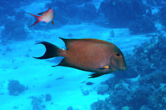 Brown surgeonfish Royaltyfri Foto