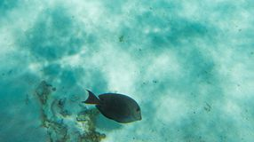 Brown Surgeonfish on Ocean Floor. Brown surgeonfish swimming on the ocean floor in the beautiful coral reef system off Yejele Beach in Tadine, Mare, New Stock Photography