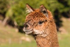 Brown suri alpaca head. Isolated brown suri alpaca head Stock Images