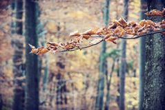 Brown susi liście na jesieni drzewie, piękno w naturze Fotografia Stock