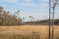 Brown Swamp Grass and Forest at Mackay Island Royalty Free Stock Photography