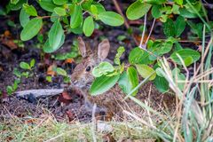 A brown Swamp Rabbit in Sanibel Island, Florida. A cool portrait shot of Cottontail Rabbit in the wetlands of Ding Darling National Wildlife Refuge royalty free stock photo