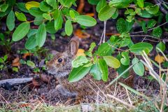 A brown Swamp Rabbit in Sanibel Island, Florida. A cool portrait shot of Cottontail Rabbit in the wetlands of Ding Darling National Wildlife Refuge stock photos