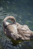 Brown swan drinking water from a pond Royalty Free Stock Images