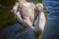Brown swan drinking water from a pond Stock Photography
