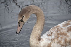 Brown Swan in Pond. Head, neck, and forebody of wild swan with brown/tan and white feathers.  Neck is brown to gray.  Water is dripping off beak. Reflection Stock Photography