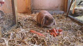 Brown, sweet rabbit eats fresh carrots in the rabbit hutch. Beautiful brown, young and sweet widder rabbit eats fresh carrots in the rabbit hutch stock video