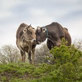 Brown Swiss Cow Friends. A pair of Brown Swiss cows nuzzling on a farm in the Hudson Valley of New York Stock Photo