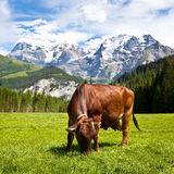 Brown Swiss Cow in the Pasture Royalty Free Stock Image