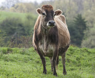 Brown Swiss Cow. A Brown Swiss cow standing in a green field near Old Chatham, New York Royalty Free Stock Images