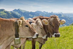 Brown swiss cows. On mountain pasture in Switzerland Royalty Free Stock Photo