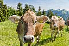 Brown swiss cows. On mountain pasture in Switzerland Royalty Free Stock Photography