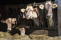 Brown Swiss cows Feeding at a farm Royalty Free Stock Photography