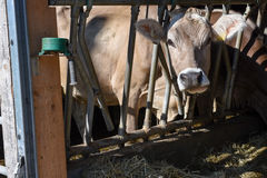 Brown Swiss cows Feeding at a farm Stock Photography