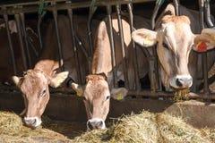 Brown Swiss cows Feeding at a farm Stock Image