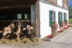Brown Swiss cows Feeding at a farm Stock Photo