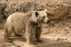 Brown Syrian Bear royalty free stock images