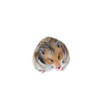 Brown Syrian hamster eating sunflower seeds isolated Royalty Free Stock Photos