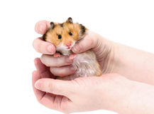 Brown Syrian hamster with filled cheeks in hands isolated Stock Images