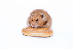 Brown Syrian hamster gnaws delicious bagel Royalty Free Stock Photography