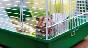 Free Brown Syrian Hamster Gnaws Inside A Cage Royalty Free Stock Image - 74837186