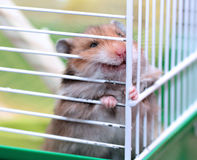 Brown Syrian hamster gnaws inside a cage. Eager to freedom Royalty Free Stock Images