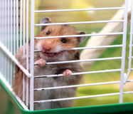 Brown Syrian hamster gnaws inside a cage, eager to freedom, show Stock Photography