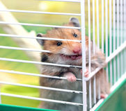Brown Syrian hamster gnaws inside a cage, eager to freedom. Sticking his tongue Royalty Free Stock Image