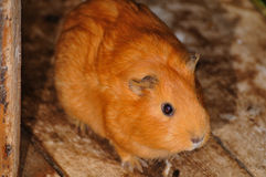 Brown Syrian hamster, Mesocricetus auratus Royalty Free Stock Photography