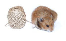 Brown Syrian hamster near coil of jute rope isolated Stock Photos