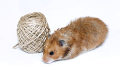 Brown Syrian hamster near coil of jute rope isolated Royalty Free Stock Photography